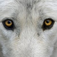Wolf blood – reclaiming our intelligence.